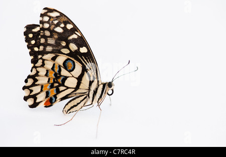 Papilio demoleus . Lime butterfly on white background - Stock Photo