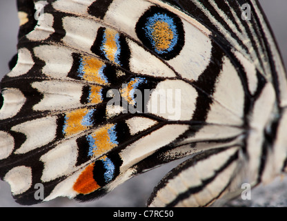 Papilio demoleus . Lime butterfly wing pattern - Stock Photo
