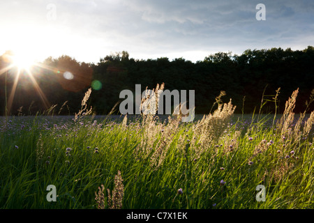 A meadow of flowers near Teerofen, which is part of the village Schönhöhe and situated on the edge of the Großsee. - Stock Photo
