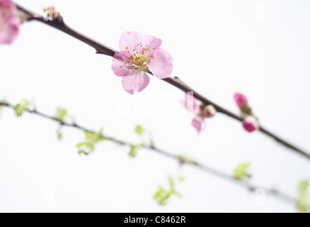 Close up of blossom on tree branch - Stock Photo