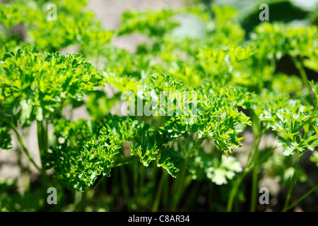 Curly parsley growing in the vegetable garden - Stock Photo