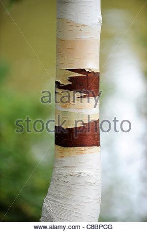 Betula utilis Jacquemontii (Himalayan Birch) - Stockfoto