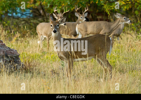 Young whitetail buck and some does in a field in South Dakota - Stock Photo