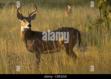 Lone whitetail buck standing alert in a grassy field - Stock Photo