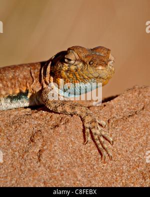 Colorado side-blotched lizard (Uta stansburiana uniformis, Canyon Country, Utah, United States of America - Stock Photo