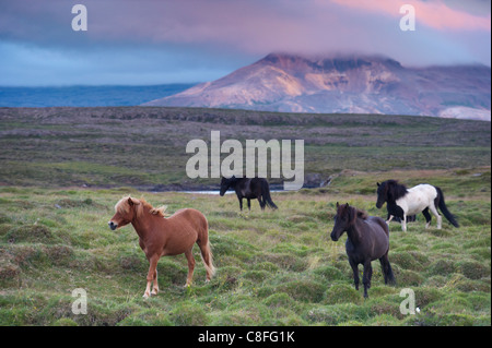 Icelandic horses, near Stykkisholmur, Snaefellsness peninsula, West Iceland, Iceland, Polar Regions - Stock Photo
