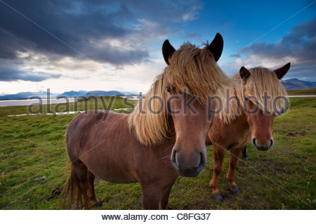Icelandic horses, near Hofn, Hornafjordur mountains and glaciers behind, East Fjords region (Austurland, Iceland, - Stock Photo