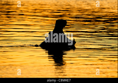 Silhouette of a hippopotamus yawning in the golden evening light - Stock Photo