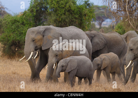 Family of elephants in Amboseli National Park, Kenya - Stock Photo