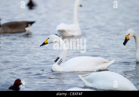 Bewick's Swan Cynus columbianus with geo locator strapped to neck Slimbridge Glos winter - Stock Photo