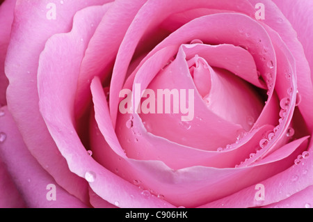 Pink rose with water droplets - Stock Photo