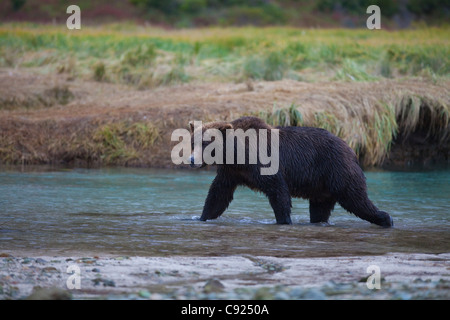 Brown Bear walks across Kinak Lagoon during a Autumn Salmon run, Katmai national park and Preserve, Alaska Peninsula, - Stock Photo