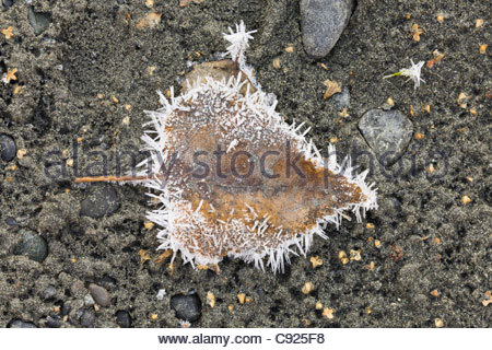 Frost crystals on a fallen leaf on the shore of North Fork Eagle River in Chugach State Park, Southcentral Alaska, - Stock Photo