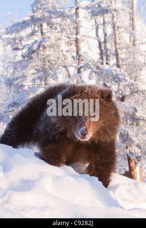 CAPTIVE: Female Kodiak Brown bear cub walking on a snow covered hill with snow covered trees in background, Alaska - Stock Photo