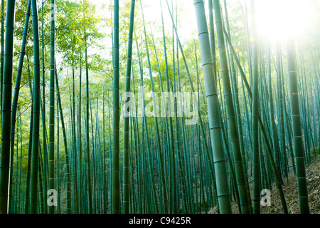Bamboo Forest - Stockfoto