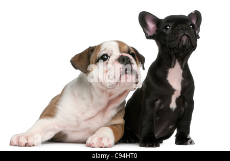 French Bulldog puppy and English Bulldog puppy, 8 weeks old, looking up in front of white background - Stock Photo