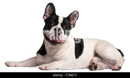 French Bulldog, 8 months old, lying in front of white background - Stock Photo