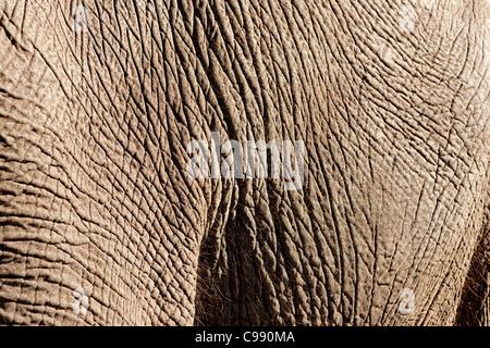 Detail of Elephant skin, Botswana, Africa - Stock Photo