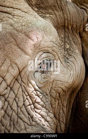 African Elephant eye detail with lashes - Stock Photo