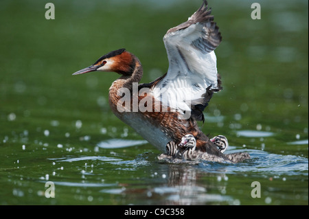 Great crested grebe stretching wings with chicks on lake UK - Stock Photo