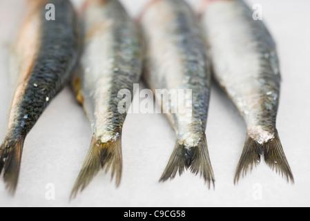 Fresh raw sardines - Stock Photo