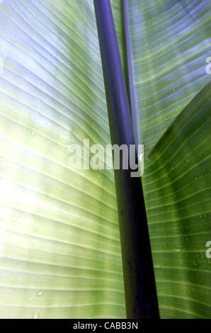 Jun 03, 2004; Los Angeles, CA, USA; Banana plant. - Stock Photo