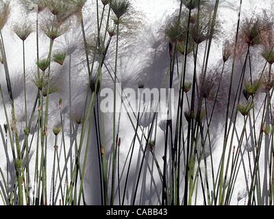 Jun 03, 2004; Los Angeles, CA, USA; Reed plants against a white wall. - Stock Photo
