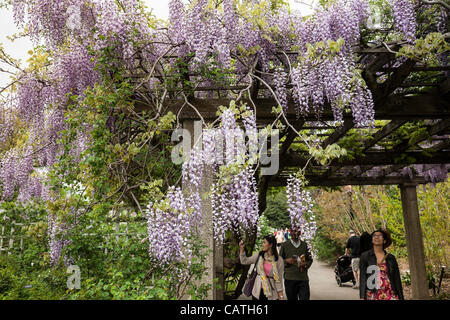 New York City, USA. 20 Apr 2012.  Trellises of Japanese Wisteria in full bloom line a path in The Brooklyn Botanic - Stock Photo