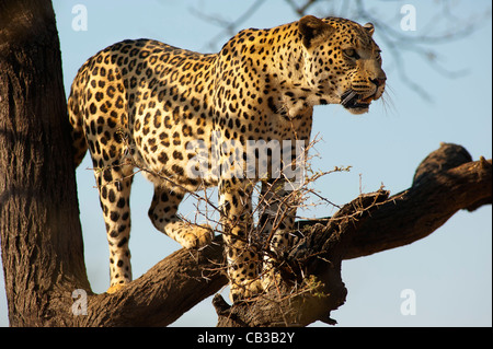 Leopard on a tree, Dusternbrook, Namibia - Stock Photo