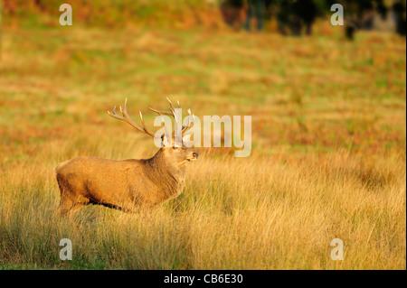 mature red deer stag in golden sunlight - Stock Photo