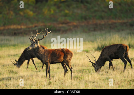 3 young red deer stags in a field - Stock Photo