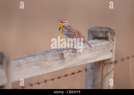 Western Meadowlark, Alberta, Canada - Stock Photo