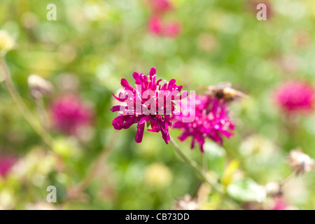 Globe Amaranth (Gomphrena globosa) - Stock Photo