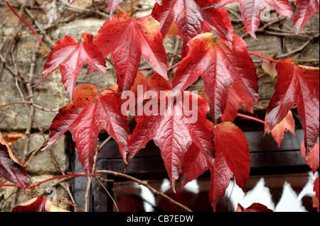 Boston ivy (Parthenocissus tricuspidata) foliage on stone barn wall turning red in autumn - Stock Photo