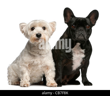 French Bulldog, 6 years old, and West Highland White Terrier, 8 years old, sitting in front of white background - Stock Photo