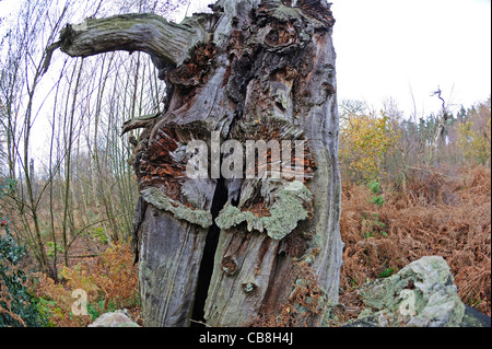 Old and decaying oak trees in the ancient woodland of Sherwood forest in Nottinghamshire, England. - Stock Photo