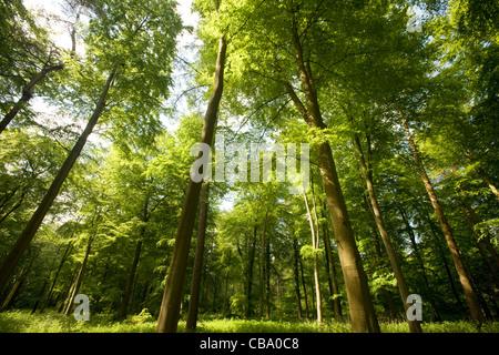 Thetford Forest Norfolk - Stock Photo