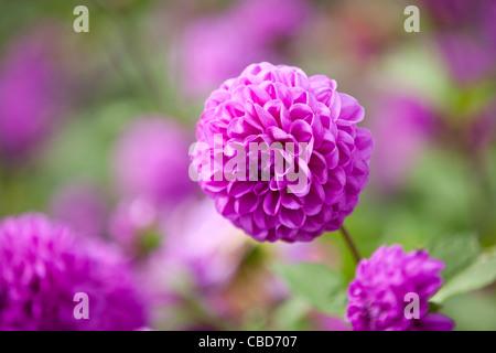Purple dahlia flowers in bloom - Stock Photo