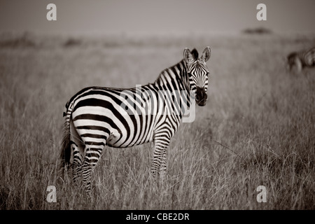 Zebra, Kenya Africa - Stock Photo