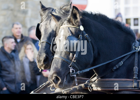 Shire horses at the Christmas Parade in Buckingham - Stock Photo