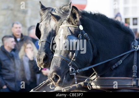 Shire horses at the Christmas Parade in Buckingham - Stock Photo