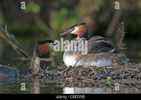 Great Crested Grebe (Podiceps cristatus). Adult feeding chicks on the back of its partner on nest. - Stock Photo