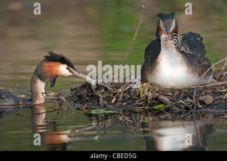 Great Crested Grebe (Podiceps cristatus). Adult feeding chicks on nest. - Stock Photo