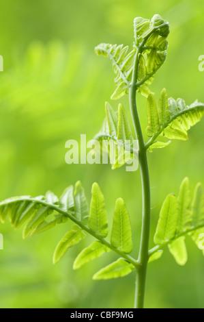 Osmunda regalis, Fern leaf, Green subject, Green background. - Stock Photo