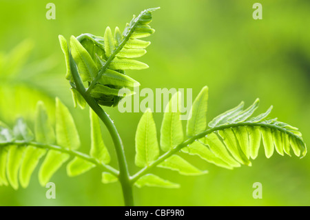 Osmunda regalis, Fern leaf unfurling, Green subject, Green background. - Stock Photo