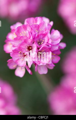 Armeria maritima sea thrift in flower lowland point lizard stock armeria maritima rubrifolia thrift sea pink pink flower stock photo mightylinksfo Image collections