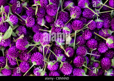 Gomphrena globosa. Globe Amaranth or Bachelor Button flowers. India - Stock Photo