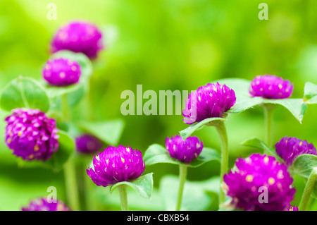 Globe amaranth or Gomphrena globosa close up in a morning. - Stock Photo