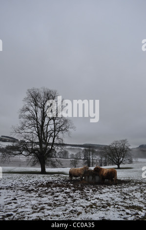 Two highland cows in a Perthshire field eating hay.  Portrait format with a single tree in mid-ground and snow on - Stock Photo