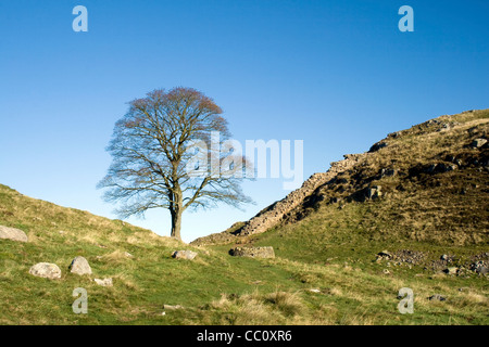 Sycamore Gap - much loved tree on the Hadrian's Wall Trail which was used as a location in the Robin Hood film in - Stock Photo